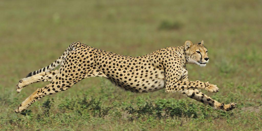 cheetah of Serengeti